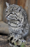 Fishing Cat Royalty Free Stock Image
