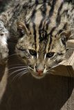 Fishing Cat. The Endangered Fishing Cat (Prionailurus viverrinus) from Asia Royalty Free Stock Photography
