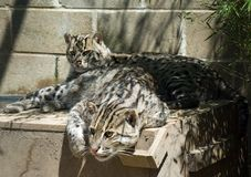Fishing Cat. Pair of the endangered Fishing Cats (Prionilurus Viverrinus) from Asia Stock Images