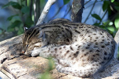Fishing Cat. A fishing cat sleeps on a platform in its enclosure in a natural zoo habitat Royalty Free Stock Photos