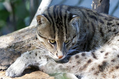 Fishing Cat. A fishing cat lays on a platform in its enclosure in a natural zoo habitat Royalty Free Stock Photo