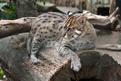 Fishing cat. The Fishing Cat (Prionailurus viverrinus) sitting at trunk Royalty Free Stock Image