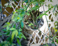 Fishing Cat Stock Photo