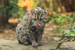 Fishing cat. The sitting and lurking fishing cat Stock Images