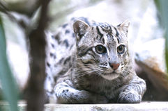 Fishing cat Royalty Free Stock Photography