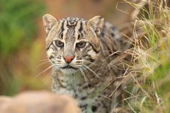 Fishing cat Royalty Free Stock Photo