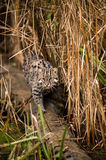 Fishing Cat on Branch Royalty Free Stock Photography