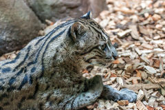 Fishing Cat Stock Photography