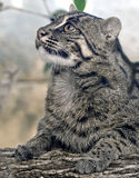 Fishing cat 1 Stock Photography