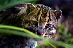 Fishing Cat portrait Royalty Free Stock Photo