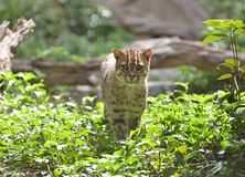 Fishing cat (Prionailurus viverrinus) Royalty Free Stock Image