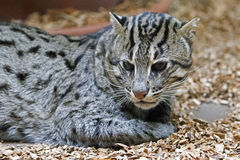 Fishing cat - Prionailurus viverrinus Royalty Free Stock Photos