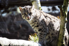 Fishing Cat, Prionailurus viverrinus, hunt for food in water Stock Image