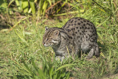 Fishing cat (Prionailurus viverrinus). Sitting in the grass Royalty Free Stock Photography