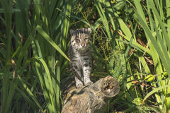 Fishing cat (Prionailurus viverrinus). Standing on wooden log in the high grass Royalty Free Stock Photography