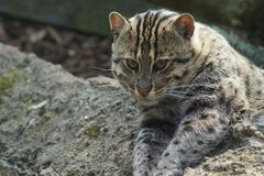 Fishing Cat - Prionailurus viverrinus Stock Images