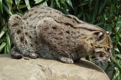 Fishing Cat - Prionailurus viverrinus Stock Photography