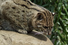 Fishing Cat - Prionailurus viverrinus Stock Image
