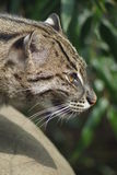 Fishing Cat - Prionailurus viverrinus Royalty Free Stock Image