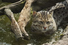 Fishing Cat - Prionailurus viverrinus Stock Photos
