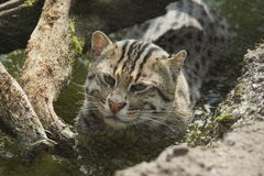 Fishing Cat - Prionailurus viverrinus Royalty Free Stock Photo
