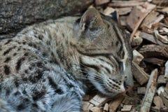 Fishing cat (Prionailurus viverrinus). Stock Photography