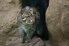 Fishing cat (Prionailurus viverrinus). Wildlife animal Stock Images