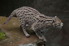 Fishing cat (Prionailurus viverrinus). Wildlife animal Royalty Free Stock Image