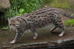 Fishing cat (Prionailurus viverrinus). Wildlife animal Stock Photography