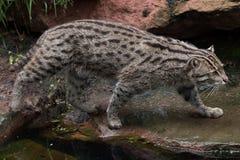 Fishing cat (Prionailurus viverrinus). Wildlife animal Stock Photo