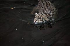Fishing cat. (Prionailurus viverrinus). Wildlife animal Royalty Free Stock Photos