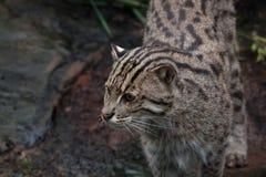 Fishing cat. (Prionailurus viverrinus). Wildlife animal Stock Images