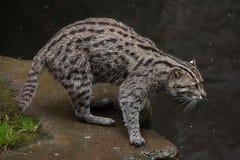 Fishing cat (Prionailurus viverrinus). Wildlife animal Royalty Free Stock Photos