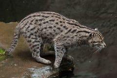 Fishing cat Prionailurus viverrinus. Wildlife animal Royalty Free Stock Images