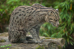 Fishing cat Prionailurus viverrinus. Royalty Free Stock Photography