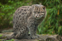 Fishing cat Prionailurus viverrinus. Wildlife animal Royalty Free Stock Image