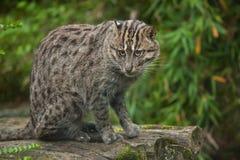 Fishing cat Prionailurus viverrinus. Wildlife animal Stock Image