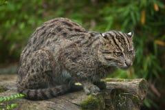 Fishing cat Prionailurus viverrinus. Wildlife animal Stock Images