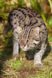 Fishing Cat Prowling in Afternoon Sunshine Stock Image