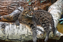 Fishing cat resting on tree Royalty Free Stock Images
