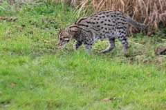 Fishing cat Stock Image