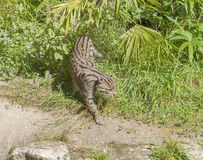 Fishing cat in sunny ambiance Royalty Free Stock Photography