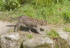 Fishing cat in sunny ambiance Stock Photography
