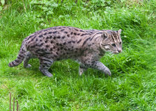 Fishing Cat walking in grass Royalty Free Stock Image