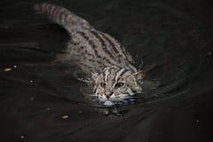 Fishing cat (Prionailurus viverrinus). Royalty Free Stock Photos