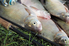 Fishing catch - bream Royalty Free Stock Image