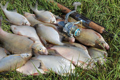 Fishing catch - bream Royalty Free Stock Photos