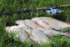 Fishing catch - bream Stock Image