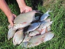 Fishing catch - breams Stock Photos