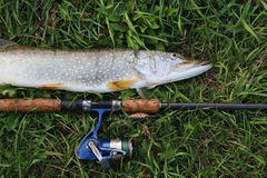 Fishing catch pike on the grass Royalty Free Stock Images